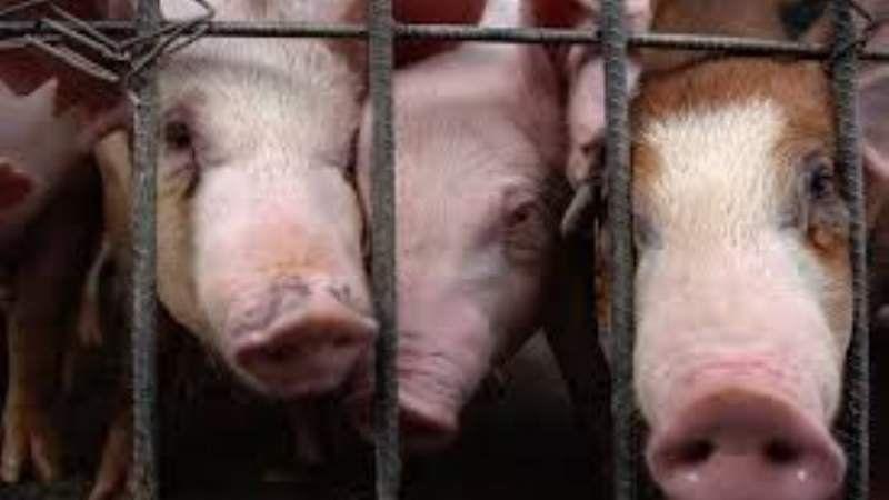 Productores de cerdos protestaron en la Municipalidad