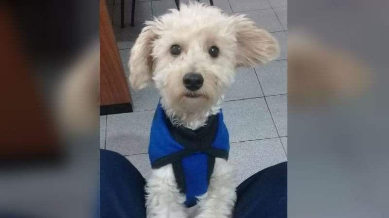 Su perro desapareció y ofrece más de 15 mil pesos para recuperarlo