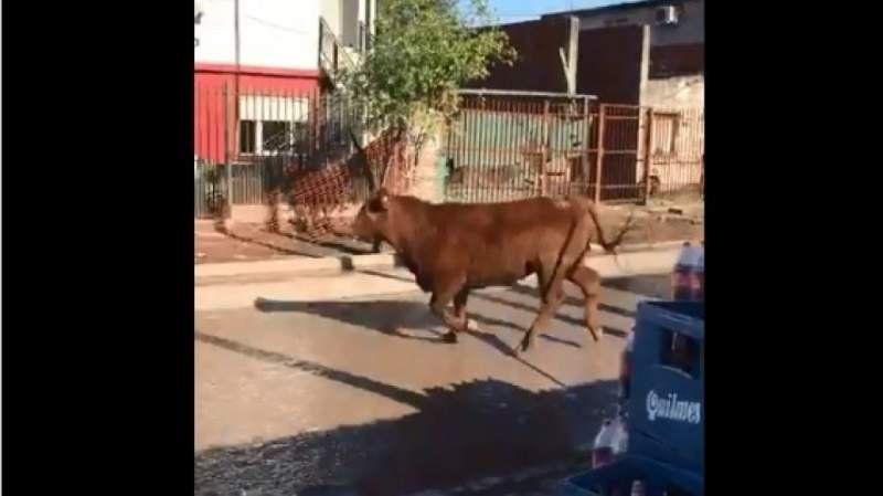 Tierras Altas: Un toro se escapó de un matadero y embistió fuertemente a una mujer