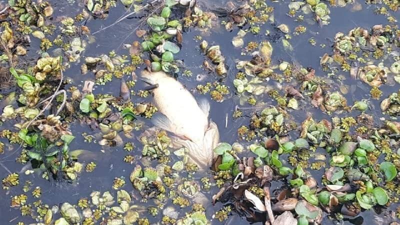 Siguen apareciendo peces muertos en la laguna de San Vicente y no saben por qué