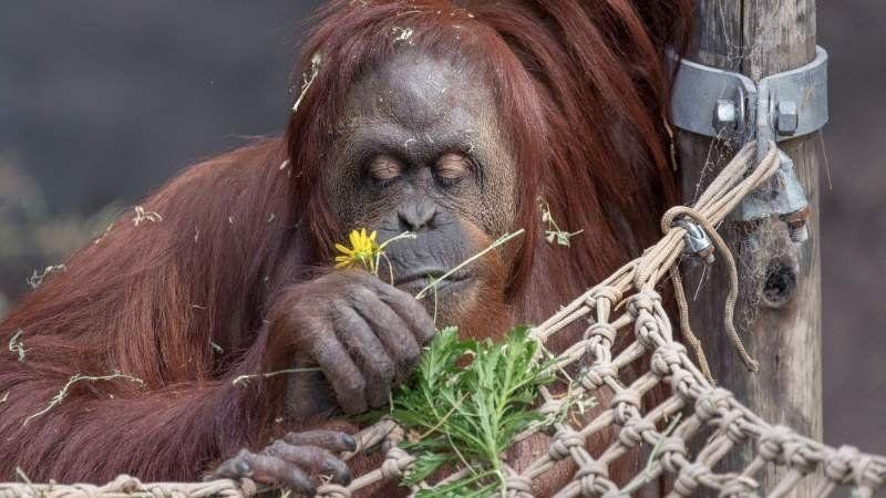 Cómo y a dónde trasladarán a la histórica oranguntana del Eco Parque porteño