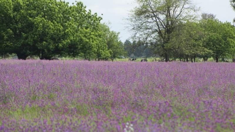 La espectacular imagen del campo violeta en San Vicente: qué es