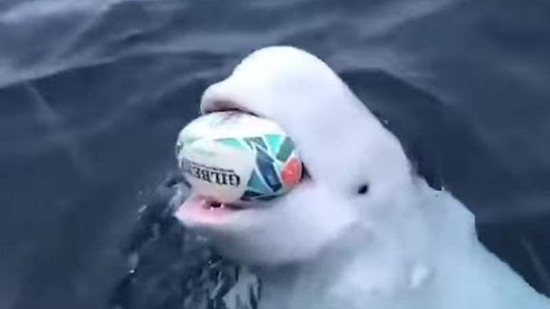 Video: Una ballena jugando al rugby es furor en las redes