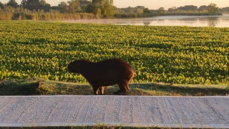 El rey de la laguna de San Vicente: el carpincho que apareció por la cuarentena
