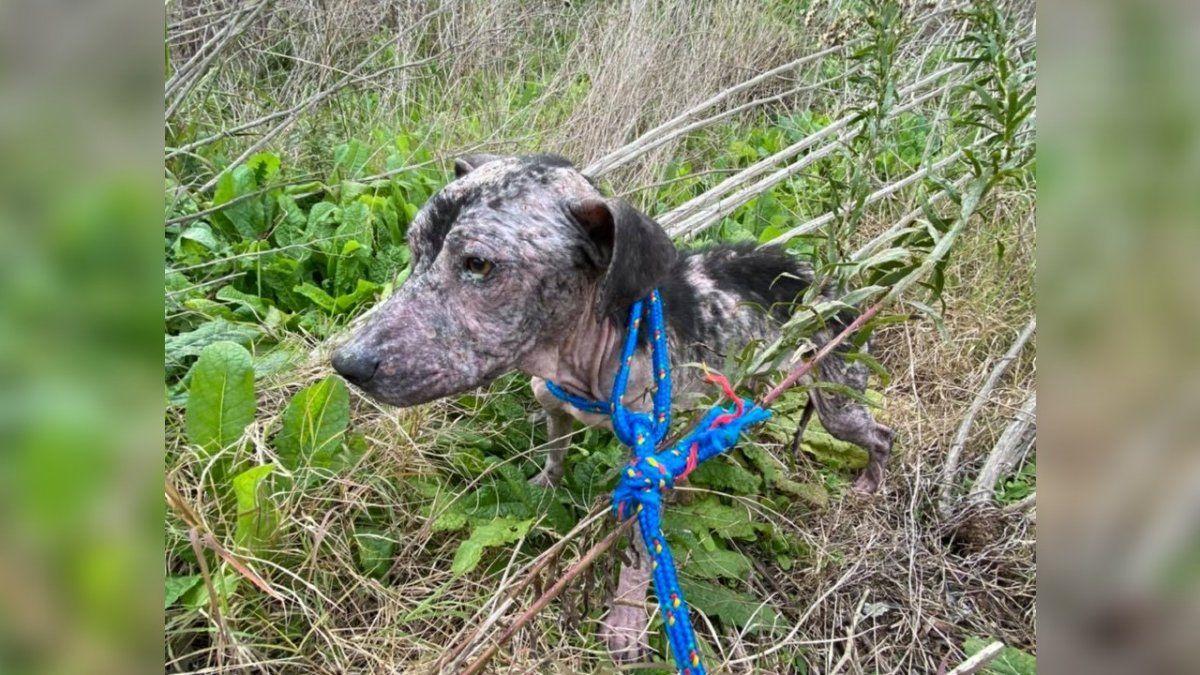Cruela, la perra que fue abandonada en un basural de Longchamps y lucha por una nueva vida
