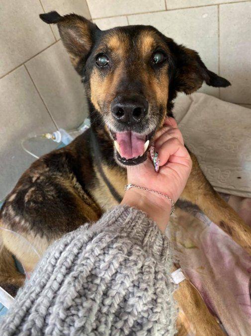 Burzaco: gran movida solidaria para salvar a una perra que fue atropellada y abandonada