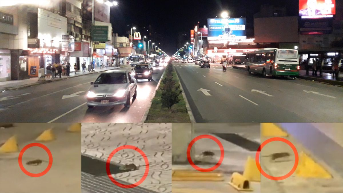 Invasión de ratas en Lanús: Tenemos miedo de contagiarnos alguna enfermedad